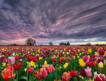 bunga tuli