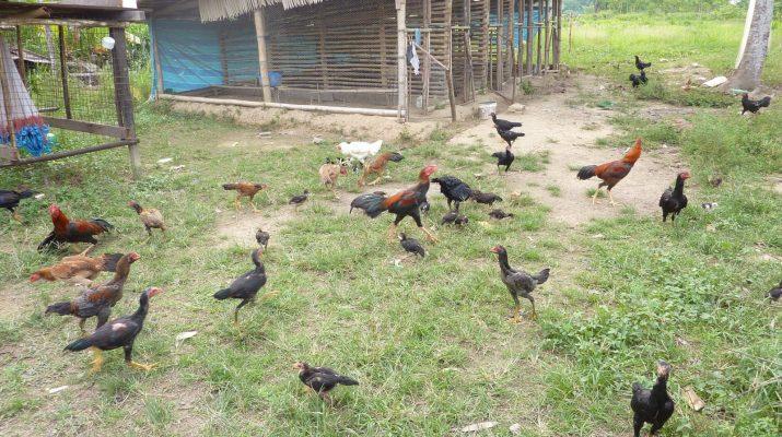 Sistem Umbaran Ayam Kampung